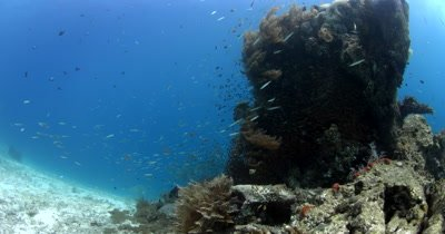 Glassfish (Cardinalfish), Ambassis sp and Anchovy,Stolephorus indicus swim around a coral block