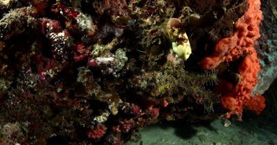 A Blue-Ringed Octopus, Hapalochlaena sp slides down over colorful sponges