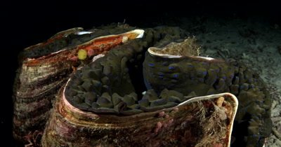 Close up cutaway of the bumpy flesh and luminous dots on the flesh of a huge Giant clam,Tridacna gigas