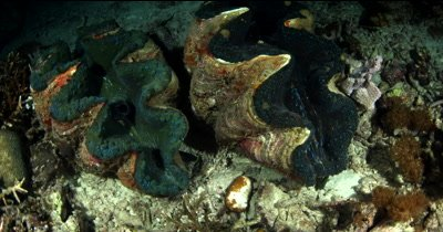 Two huge Giant clams,Tridacna gigas