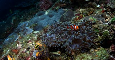 Two orange and white False clown Anemone fish (Clownfish), Amphiprion ocellaris swim over their purple anemone, Stichodactyla mertensii
