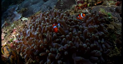 Close up of Two orange and white False clown Anemone fish (Clownfish), Amphiprion ocellaris swim over their purple anemone, Stichodactyla mertensii peeping at the camera