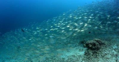 Huge schools of Scissor-Tailed Fusilier, Caesio caerulaurea and Shrimp Scad,Alepes djedaba float over the ocean floor.