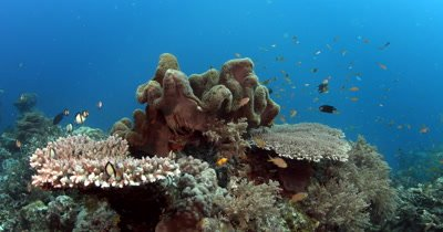 A school of peach coloured Anthias fish, Pseudanthias sp , Damsel Fish and many other reef fish swarm over Table Coral