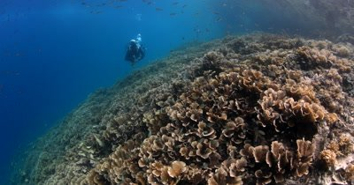 A diver enjoys the sight of a huge area covered in Philippines Stony Coral, Montipora tuberculosa with small reef fish swarming the reef