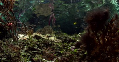 Life underwater at a Mangrove. A few Cardinalfish,Pterapogon sp hang about