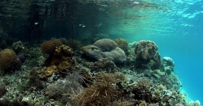 Life underwater at a Mangrove. A few Indopacific Sergeant fish, Abudefduf vaigiensishang about