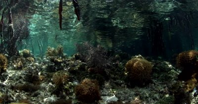 View below the water at a Mangrove area, roots,fish and coral