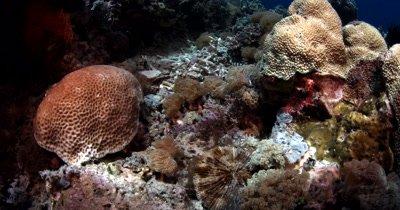 A sea krait,Sea snake, Laticauda colubrina (yellow Lipped) slithers through the reef