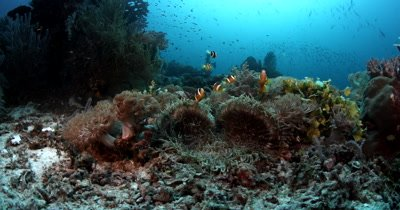 A school of Clark's Anemonefish, Amphiprion clarkii on their Anemone