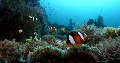 Close up of A school of Clark's Anemonefish, Amphiprion clarkii on their Anemone