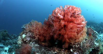 Medium shot of a delicate textured orange and yellow soft coral,Dendronephthya sp