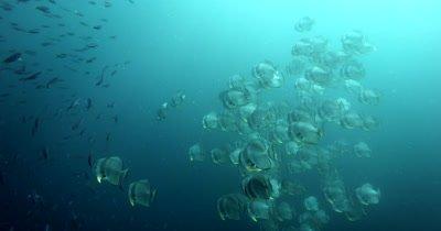 A large school of Longfin Batfish (Spadefish), Platax teira and Scissor-Tailed Fusilier,Caesio caerulaurea swim in the sea