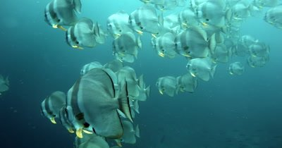 Close up of a large school of Longfin Batfish (Spadefish), Platax teira