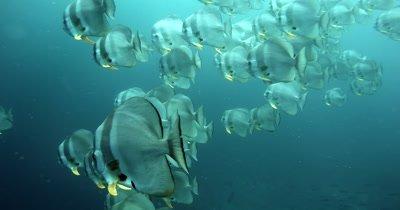 Close up of a large school of Longfin Batfish (Spadefish), Platax teira