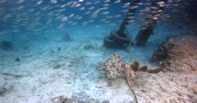 A well camouflaged Tassled Wobbegong Shark, Eucrossorhinus dasypogon swims past a huge school of Scissor-Tailed Fusilier,Caesio caerulaurea and three Batfish, Platax sp