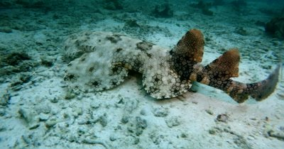 A well camouflaged Tassled Wobbegong Shark, Eucrossorhinus dasypogon swims along the sea sand swaying its tail