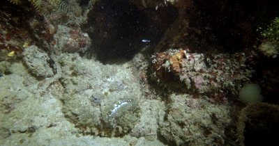 A Reef Stonefish,Synanceia verrucosa shuffles around in the sand at night time