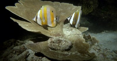 Two Orange-banded Butterflyfish (Goldengirdled coralfish), Coradion chrysozonus find protection in a Stone Coral at night