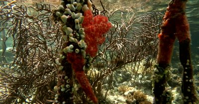 From underwater coral gardens,Cardinal fish and roots covered with colorful growth to Green Mangrove trees above ground