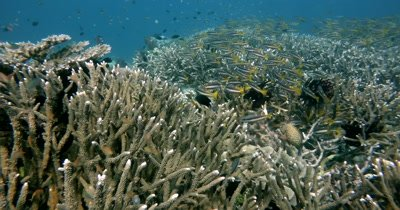 A large area of Staghorn Coral, Acropora aculeus covered in a school of Two-spot banded Snappers, Lutjanus biguttatus