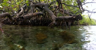 View from above to below the water at a Mangrove area with pretty fish and unusual roots