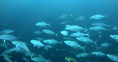 A large school of Bluefin Trevally, Caranx melampygus fish darting around in the ocean