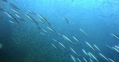 A school of Bluestreak Fusilier, Pterocaesio tile fish and Java Rabbitfish, Siganus javus swim in front of a huge bait ball of Anchovies, Stolephorus indicus