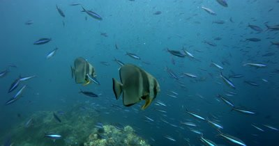 A large school of Longfin Batfish (Spadefish), Platax teira , Scissor-Tailed Fusilier,Caesio caerulaurea and Anchovy, Stolephorus indicus swim in the sea