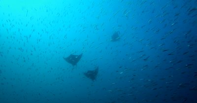 Three Devil Ray (Chilean Mobula), Mobula tarapacana swims through a large bait ball of Anchovies, Stolephorus indicus