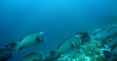 A large school of Bumphead parrotfish, Bolbometopon muricatum swim in the ocean creating a dust cloud of poop/sand