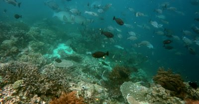 A large school of Bumphead parrotfish, Bolbometopon muricatum and Gray Rudderfish, Lowfin Drummer, Kyphosus vaigiensis swim in the ocean creating a dust cloud of poop/sand
