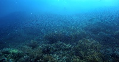 Enormously large schools of Bluestreak Fusilier, Pterocaesio tile suddenly disperse as a fish hunts for a meal