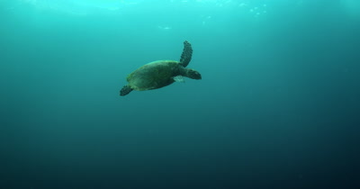 A Hawksbill Turtle, Eretmochelys imbricata Floats up to the surface of the ocean and becomes a silhouette