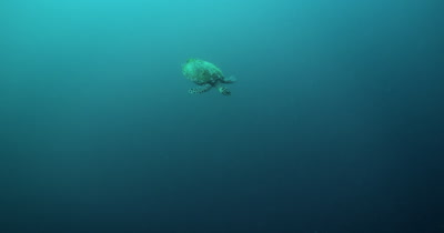 A Hawksbill Turtle, Eretmochelys imbricata floats down towards the reef