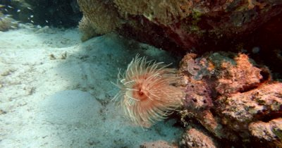 A close up of a peach and white colored Feather Duster Worm, Bispira sp