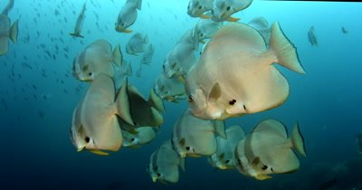 A close up of a large school of Longfin Batfish (Spadefish), Platax teira
