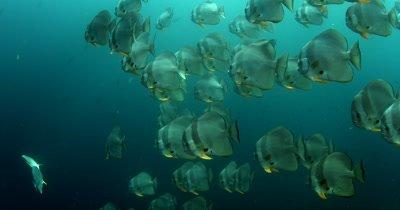 A medium shot of a large school of Longfin Batfish (Spadefish), Platax teira