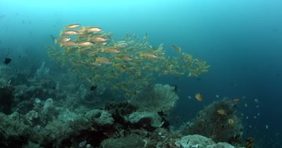 A school of Bigeye Snapper, Lutjanus lutjanus fish