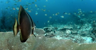 A Batfish (Spadefish), Platax spp is having its gills cleaned by a Bluestreak Cleaner Wrasse,Labroides dimidiatus