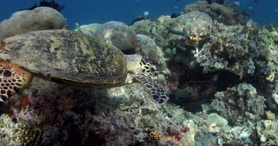 A hungry Hawksbill Turtle, Eretmochelys imbricata chomps some soft coral