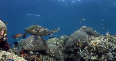Close up of a hungry Hawksbill Turtle, Eretmochelys imbricata eating some soft coral