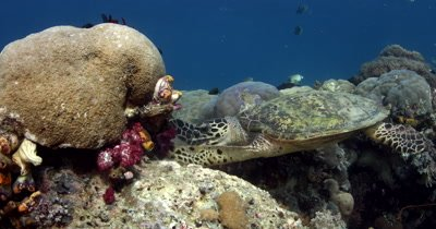 A hungry Hawksbill Turtle, Eretmochelys imbricata chomps some soft coral using its flippers to tear the soft coral