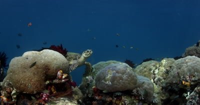 A Hawksbill Turtle, Eretmochelys imbricata rests on a coral block while it chews its food and then goes back to eat more soft coral