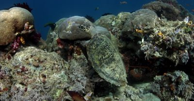 Medium shot of a hungry Hawksbill Turtle, Eretmochelys imbricata eating some soft coral