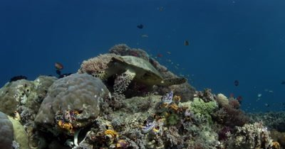 Cut away of a hungry Hawksbill Turtle, Eretmochelys imbricata eating some soft coral