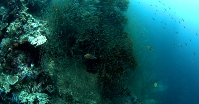 A cloud of Largespined Glassfish, Ambassis macracanthus swarm over the reel