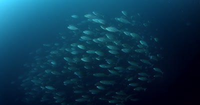A large school of Bluefin Trevally, Caranx melampygus followed by a cloud of Anchovies, Stolephorus indicus