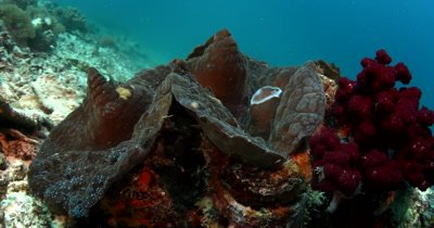 Medium shot of a Giant Clam,Tridacna gigas