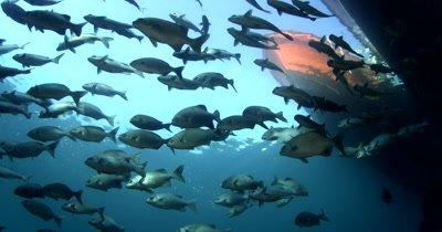 A school of Lowfin Rudderfish, Lowfin Drummer, Kyphosus vaigiensis swim past a boat seen from below